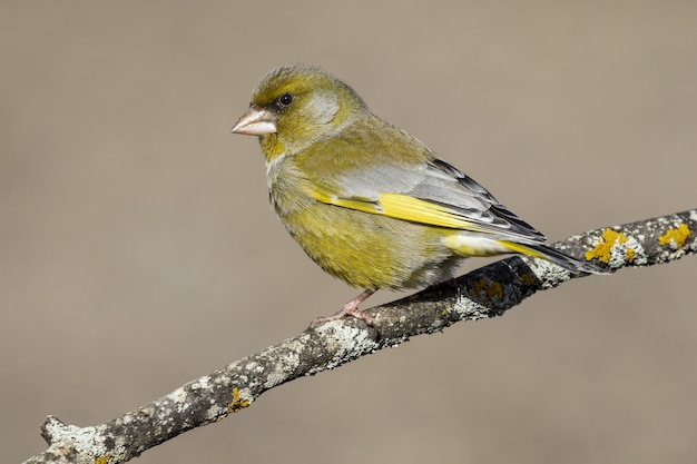 Selective focus of a european greenfinch standing on a tree branch under the sunlight