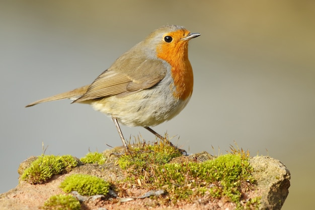 Selective focus of a european robin standing on a rock covered in mosses under the sunlight