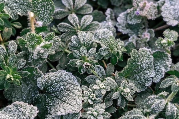 セレクティブフォーカス。凍った野外植物の最初の霜、晩秋のクローズアップ。