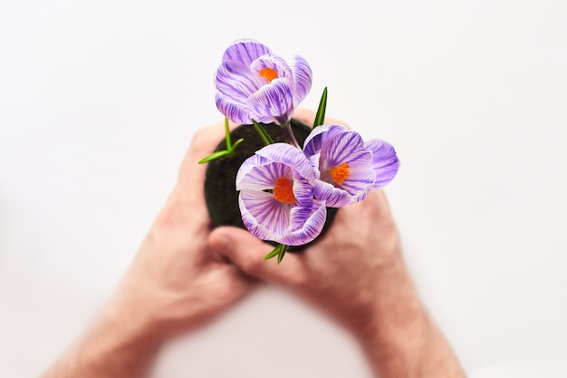 Selective focus on flowers. final result of transplanting plant at home. man hands hold a pot of young sprouted crocuses at home on white