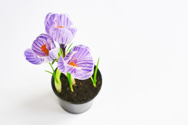Selective focus on flowers. young plants growing out of soil. violet crocus in pot on the white. final result of transplanting plant at home