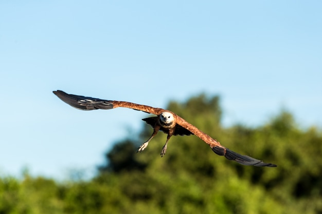 Selective focus of a flying hawk under the sunlight and a blue sky