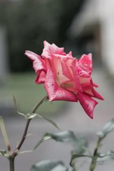 Selective focus of a garden rose under the sunlight