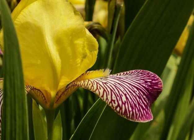 Messa a fuoco selettiva di un giardino dell'iris nella provincia di lori in armenia