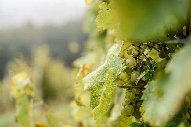 Messa a fuoco selettiva di uva verde con gocce d'acqua su di loro su un albero in un vigneto sotto la luce del sole