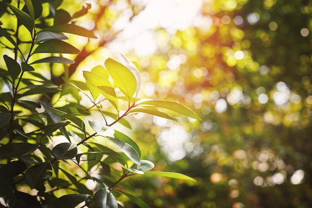 Selective focus on the green leaves tree with warm morning sunlight. nature background.