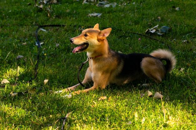 緑の公園を散歩するセレクティブフォーカス、幸せな大きな光の子犬。品種間の交配