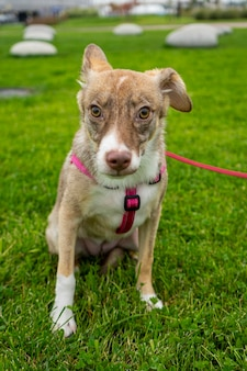 Селективный фокус, счастливый большой светлый щенок на прогулке в зеленом парке. помесь пород