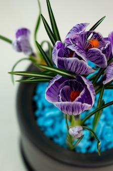 Selective focus, home flower, purple crocuses in a dark gray flower pot