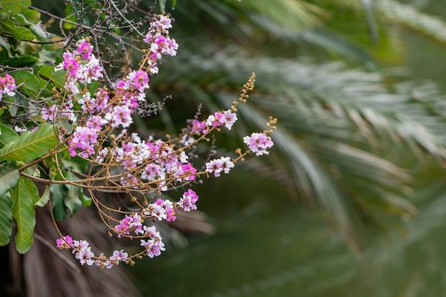 Селективный фокус цветок lagerstroemia speciosa цветет в саду. красивый сладкий фиолетовый цветок.