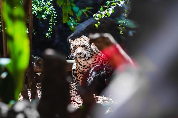 Messa a fuoco selettiva di un leopardo in un parco coperto di rocce e vegetazione sotto la luce del sole