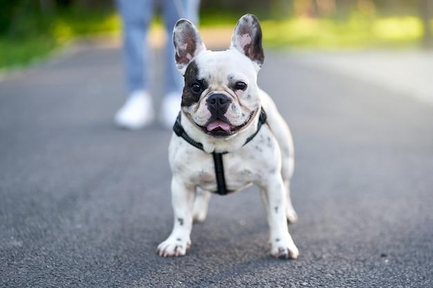Fuoco selettivo del bulldog francese bianco e marrone adorabile che sta sulla strada e che guarda l'obbiettivo. proprietario femminile irriconoscibile che tiene animale domestico usando il guinzaglio nel vicolo del parco cittadino. animali domestici, concetto di animali domestici.