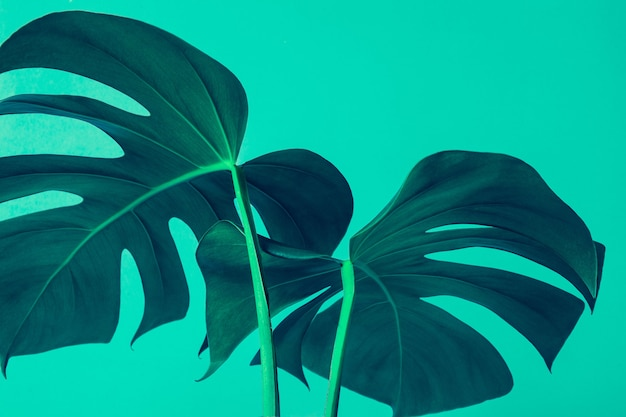 Selective focus of monstera leaves (leaf) on colorful for decorating composition