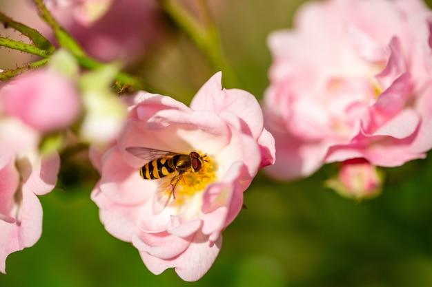 연분홍 장미에서 꽃가루를 수집하는 꿀벌의 선택적 초점
