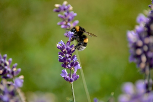 라벤더에 꿀벌의 선택적 초점