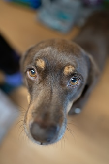 Выборочный фокус симпатичной грустной коричневой собаки, смотрящей в камеру
