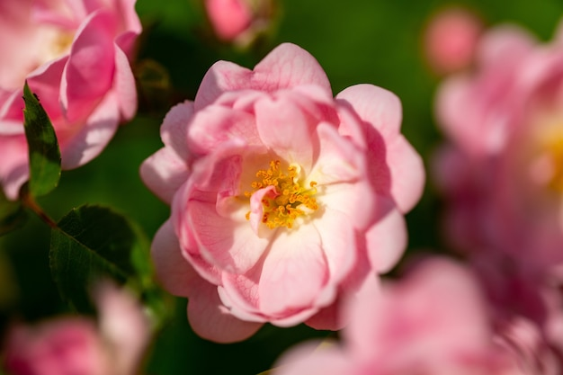Селективный фокус розового цветка с капельками на лепестках