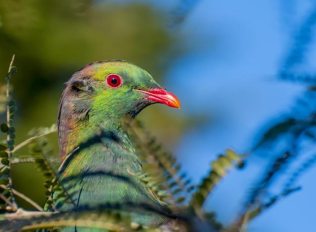 뉴질랜드에서 나무 비둘기의 선택적 초점