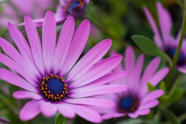 Селективный фокус красивых розовых африканских ромашек