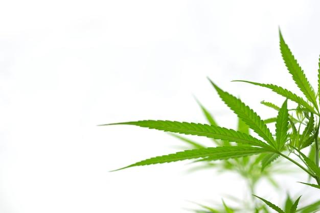 白の大麻枝、コピースペーステキストの大麻枝の選択的な焦点