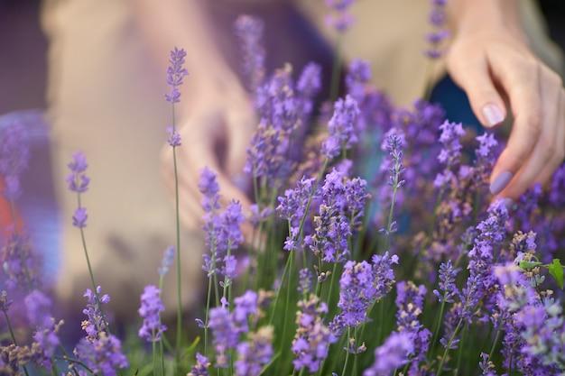 끝없는 라벤더 밭에서 보라색 꽃을 부드럽게 만지는 여성 손의 선택적 초점. 여름 수확, 따뜻한 햇살을 즐기는 알아볼 수 없는 젊은 여성. 자연의 아름다움의 개념입니다. 프리미엄 사진
