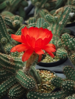 サボテンポットガーデンで成長する赤いchamaecereussilvestriiピーナッツサボテンの花の選択的な焦点