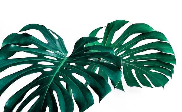 モンステラの選択的な焦点は飾るために白い色に葉を残します