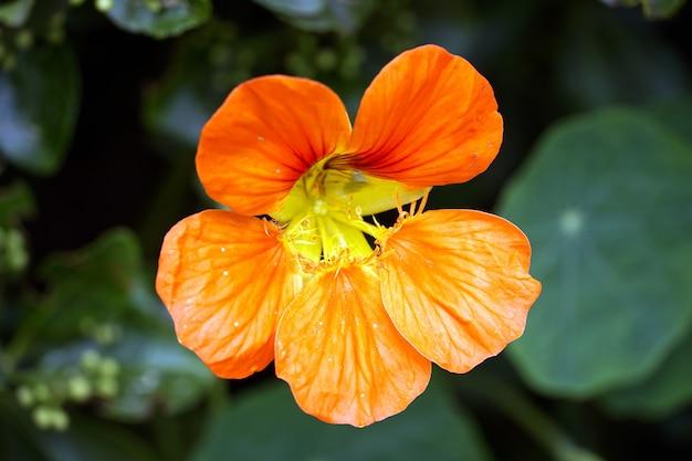 オレンジ色のtropaeolummajus花の選択的焦点