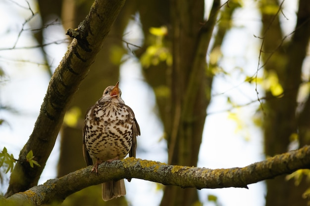 Селективное внимание певчих дроздов, поющих на ветке дерева в лесу