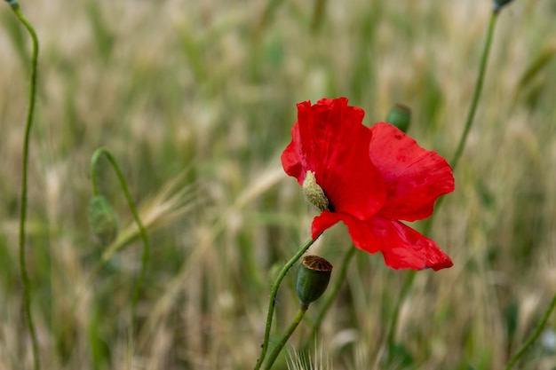 美しい一般的な赤いポピーの花の選択的な焦点