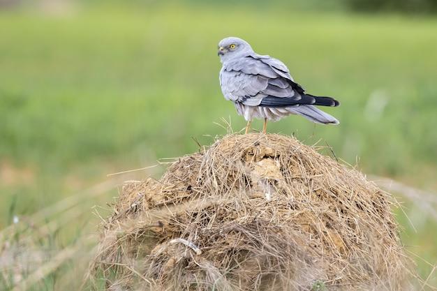 Избирательный фокус птицы cinereous лунь, стоящей и смотрящей своими пронзительными желтыми глазами