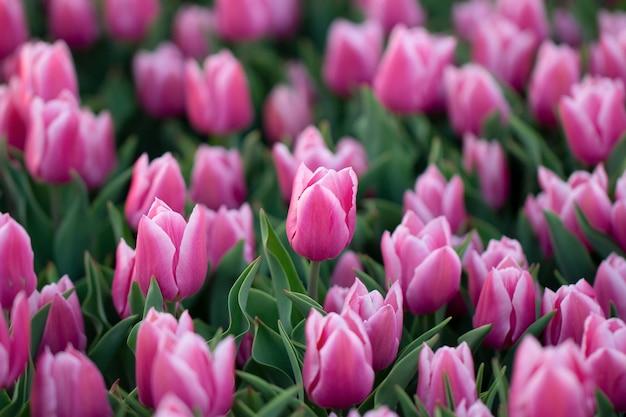 Селективный фокус тюльпанов, растущих на плантации