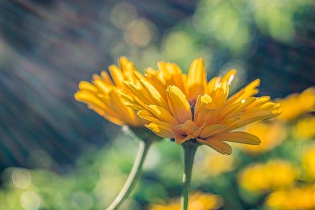 두 개의 노란색 메리 골드 꽃의 선택적 초점