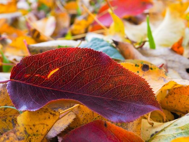 Селективный фокус на красном листе грушевого дерева, лежащем среди опавших желтых листьев в солнечный день