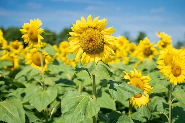 Селективный акцент на желтый цветок подсолнечника в середине поля подсолнечника в солнечный день