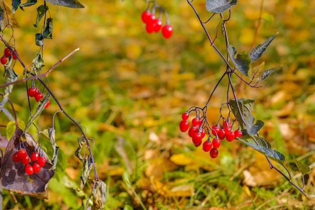 晴れた秋の日の枝の真っ赤なベリーに選択的に焦点を当てる