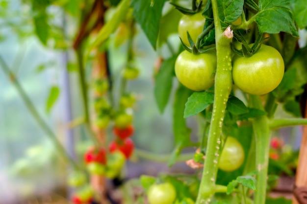 온실의 가지에 있는 녹색 토마토 과일에 선택적으로 초점을 맞춥니다.