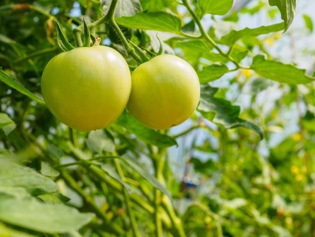 Селективный акцент на зеленых плодах помидоров на ветках в теплице