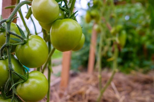 온실의 가지에 있는 녹색 토마토 과일에 선택적 초점