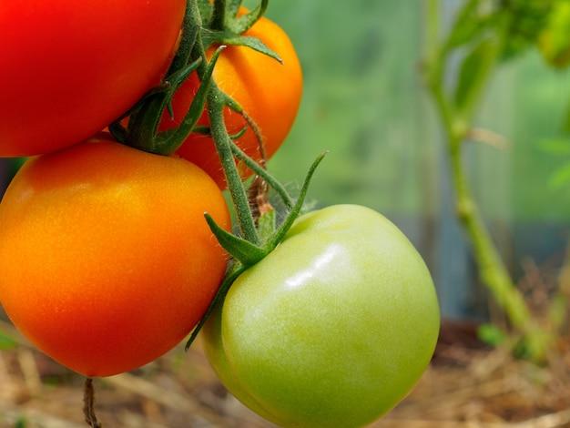 온실의 가지에 익은 빨간 토마토에 선택적 초점