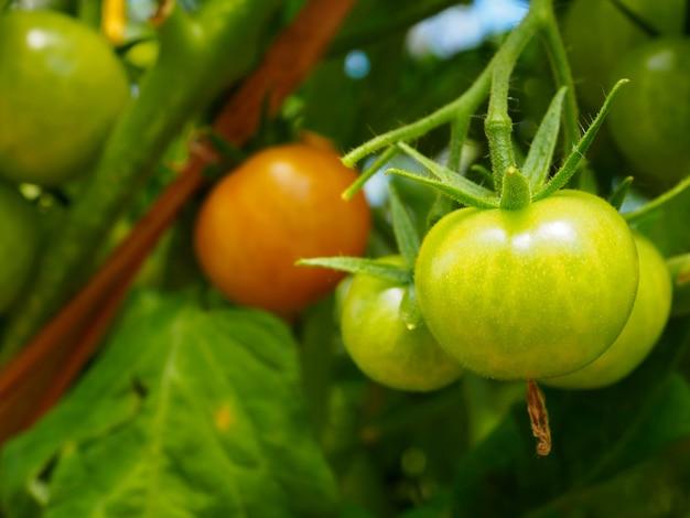 온실의 가지에 익은 빨간 토마토에 선택적 초점.