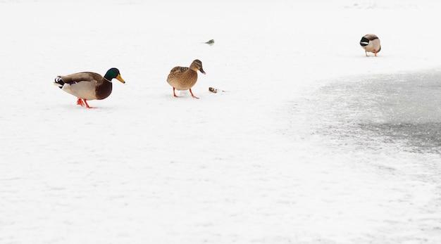 Выборочный фокус на группе диких уток на льду на берегу замерзшего озера. белая копия пространства.