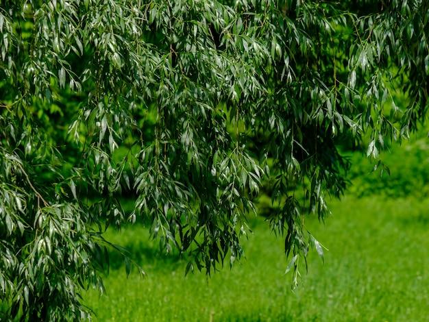 緑の草を背景に、枝のシダレヤナギの長くジューシーな緑の葉に選択的に焦点を当てます。公園で晴れた夏の日。ぼやけた自然の背景。