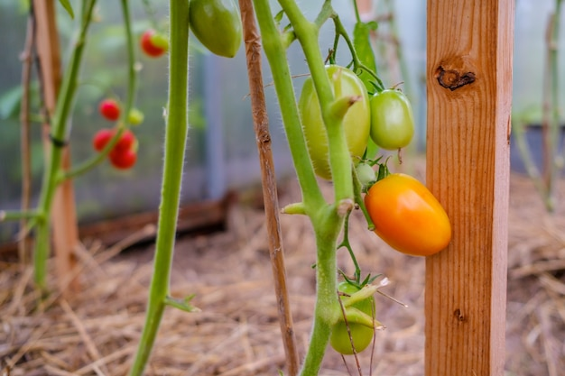 Селективный акцент на созревающем оранжевом помидоре на ветках в теплице