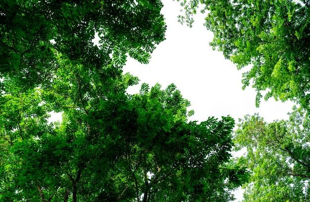 澄んだ白い空を背景に緑の葉の木の選択的な焦点。晴れた日に緑の葉の木。小枝とシャフトを持つ木の茂み。