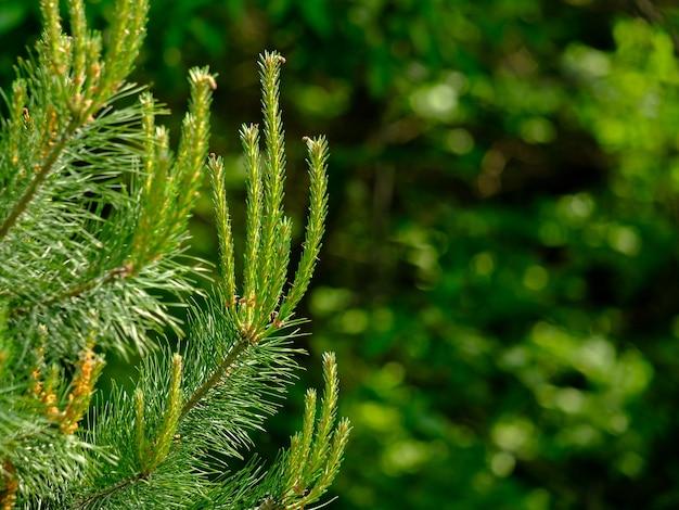 夏の晴れた日の針葉樹の若い緑の芽に選択的に焦点を当てます。非常にぼやけた背景の針葉樹の針。スペースをコピーします。