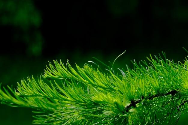 夏の晴れた日の針葉樹の若い緑の芽に選択的な焦点