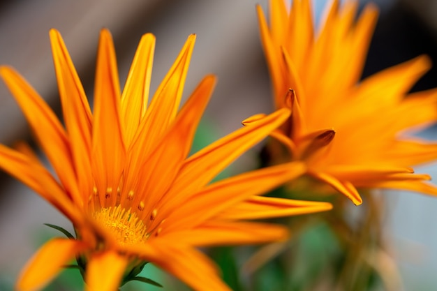 Selective focus  of an orange african daisies