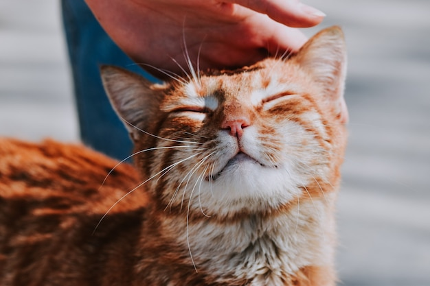 Selective focus of an orange cat being held on the head by its owner