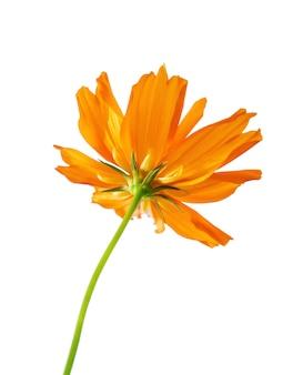 Селективный фокус оранжевый цветок, изолированные на белом. файл содержит обтравочный контур. так легко работать.
